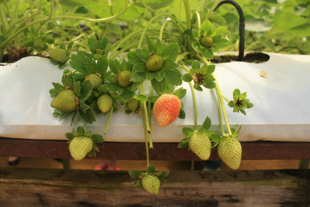 Unripe Strawberries at Highlands Apiary