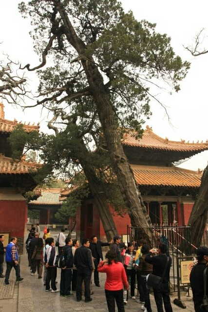 All Cypress Trees at the Confucius Temple 孔庙