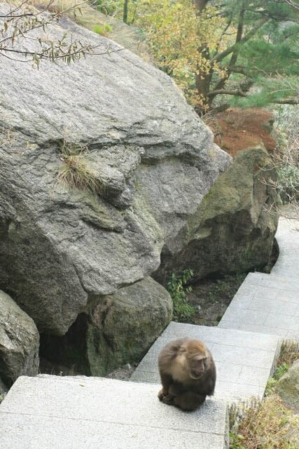Macaque in the Way in Huangshan 黄山