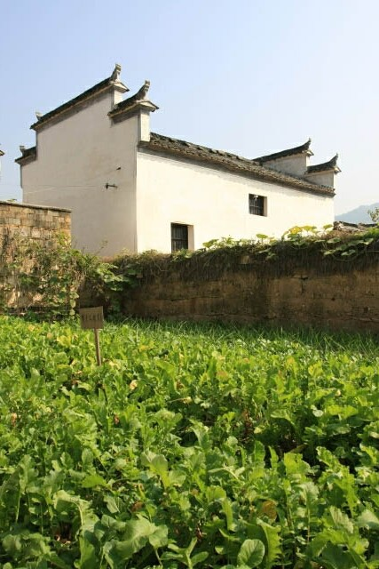 Cultivating Plants at Hongcun 宏村