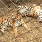 IMG 0027 150x150 Exploring the Siberian Tiger Park 东北虎林园