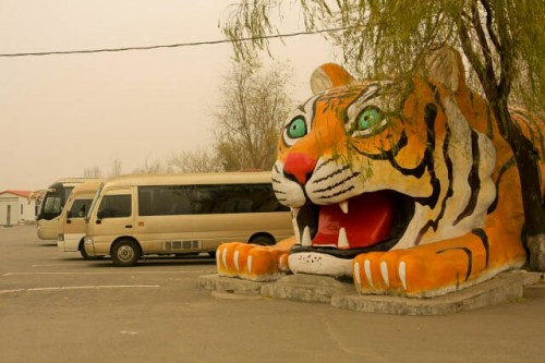 Going to the Siberian Tiger Park 东北虎林园 in Haerbin 哈尔滨