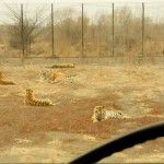 IMG 9927 150x150 Another Animals at the Siberian Tiger Park 东北虎林园