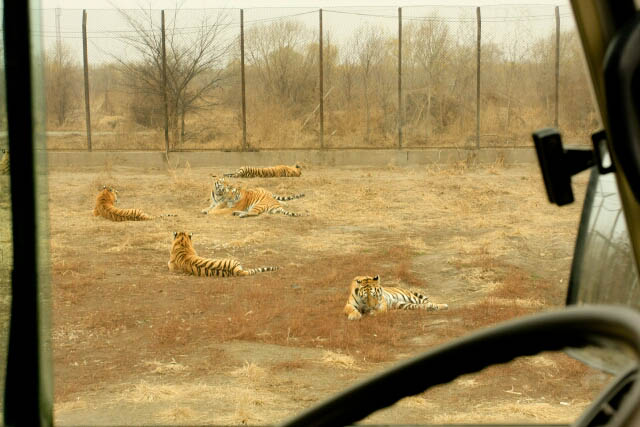 Large Group of Tigers at the Siberian Tiger Park 东北虎林园