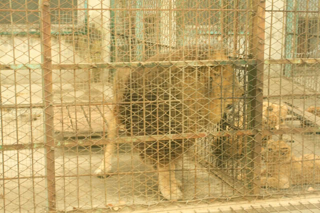 Lion Pacing Back and Forth In His Cage at the Siberian Tiger Park 东北虎林园