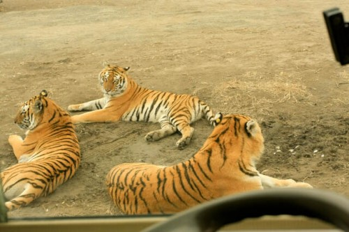 IMG 9985 500x333 Other Beasts in the Siberian Tiger Park 东北虎林园