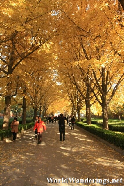 Golden Trees Lining the Path to the Lama Temple 雍和宫 in Beijing 北京