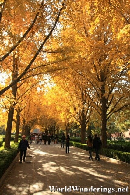 Golden Leaves Cover the Walkway to the Beijing Lama Temple 雍和宫