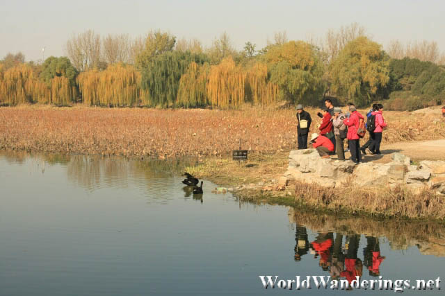 Visitors Feeding the Swan at Yuanmingyuan Park 圆明园
