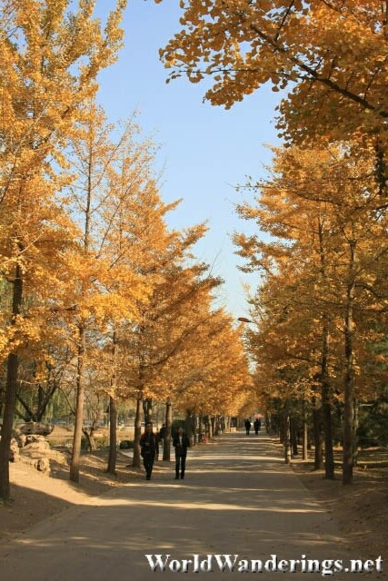 Yellow Tree Line Path in Yuanmingyuan Park 圆明园
