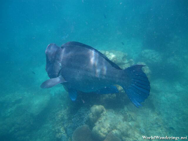 I Think This is Napoleon Wrasse
