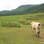 White Horse Entering the Grassy Plain at Shika Snow Mountain 石卡雪山