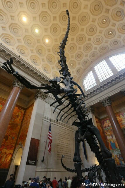 Apatosaurus on its Hind Legs at the American Museum of Natural History