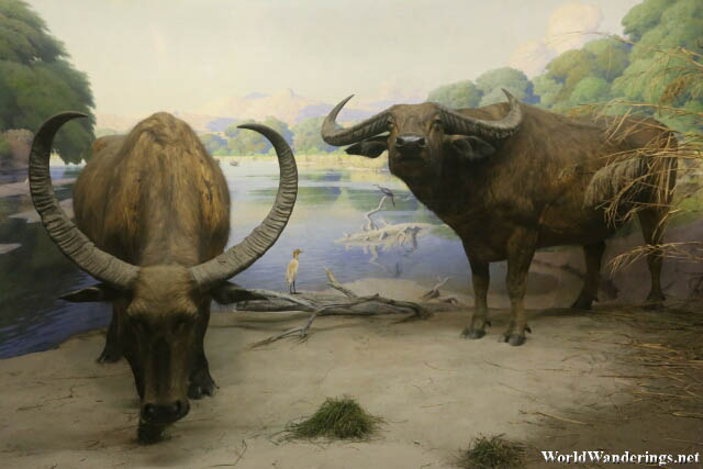 Water Buffalo Exhibit at the American Museum of Natural History