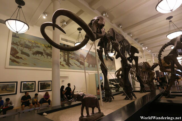 Impressive Skeleton of a Mammoth at the American Museum of Natural History