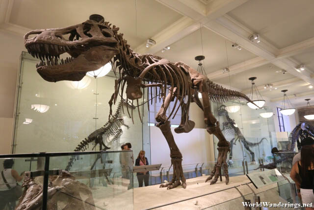 Fossil of a Tyrannosaurus Rex at the American Museum of Natural History
