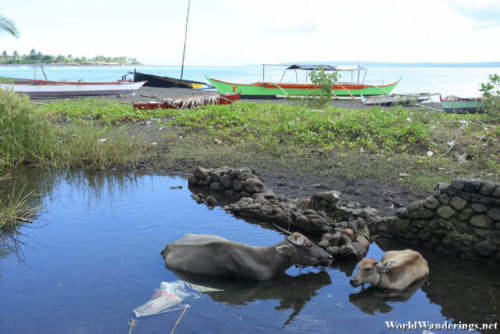 Water Buffaloes Chilling Out in the Heat at Coron-coron Beach