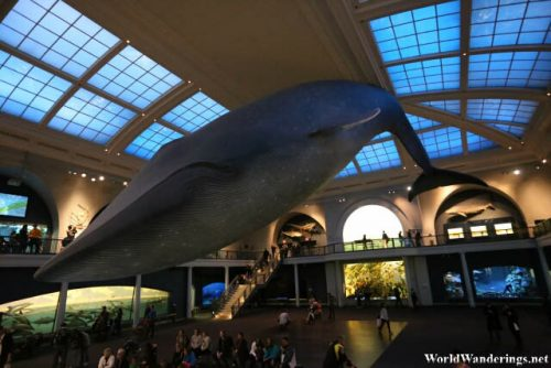 Blue Whale at the Milstein Hall of Ocean Life