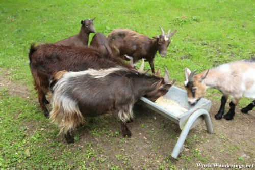 Goat Feeding at the Bunratty Castle and Folk Park